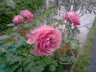 薔薇レオナルド・ダ・ヴィンチ画像